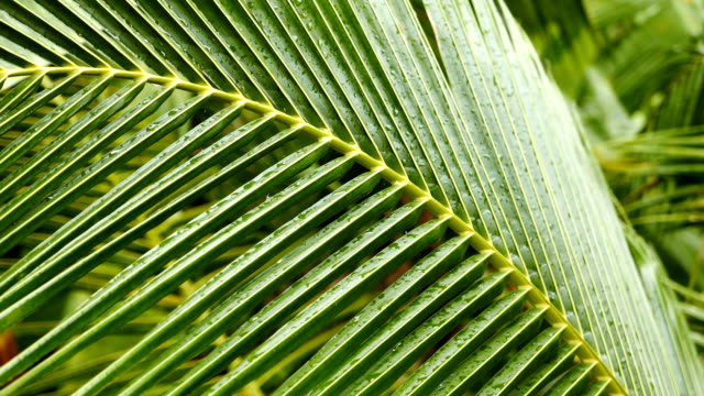 tropical palm leaf close up - palm leaf stock videos & royalty-free footage