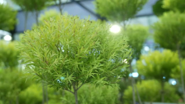 tropical plant , essential oil for mosquito repellent