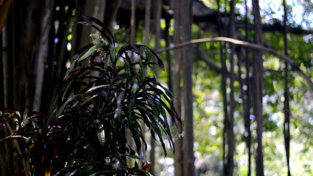 vídeos de stock, filmes e b-roll de plantas tropicais - árvore da borracha
