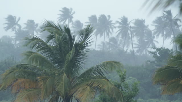 MS Tropical rain falling on palm trees, Arnos Vale, Tobago, Trinidad And Tobago