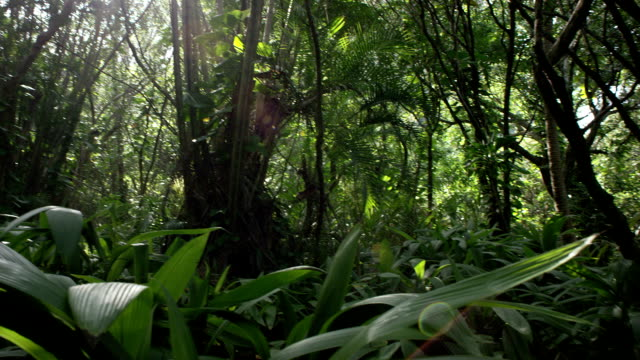 stockvideo's en b-roll-footage met tropical rain forest trees and shrubs - tropisch regenwoud