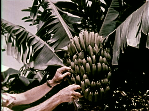 1959 tropical rain forests of hawaii - papaya stock videos & royalty-free footage