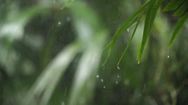 vidéos et rushes de tropical rainfall. shallow focus on leaves. high speed slow pan. - scène rurale