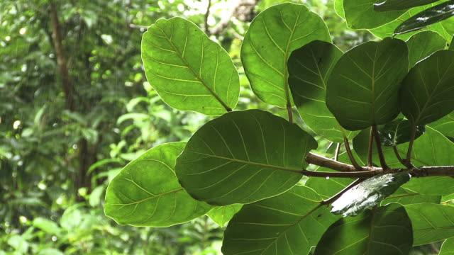 Tropical Rainforest during Mid-Morning Rain