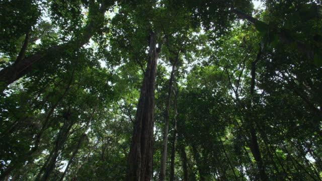 ws, la, tropical rainforest, mossman, queensland, australia - tree canopy stock videos & royalty-free footage