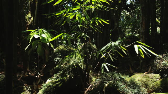 stockvideo's en b-roll-footage met tropical rainforest  - tropische boom