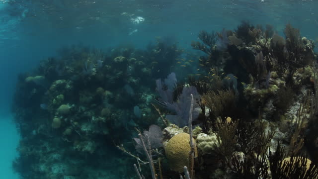 POV, tropical reef in Sargasso Sea