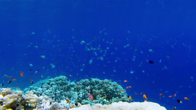 Tropical school of fishes on a coral reef - Red Sea
