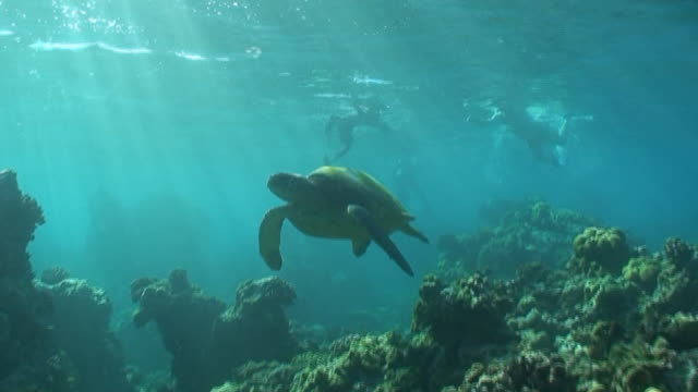 tropical sea turtle high definition (hd) saved highest quality. - hawaii islands stock videos and b-roll footage