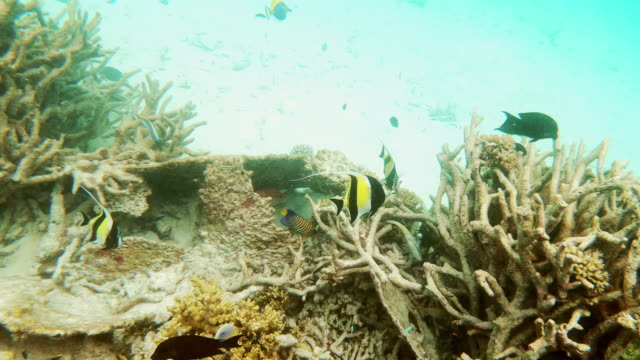 tropical sea with butterflyfish - butterflyfish stock videos & royalty-free footage