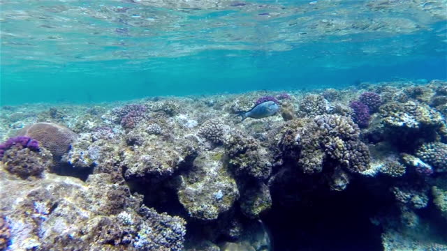tropical shallow coral reef on red sea - egypt - surgeonfish stock videos and b-roll footage
