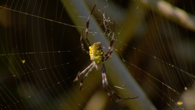 a tropical spider rests in the center of its web. - isola di kauai video stock e b–roll