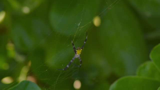 a tropical spider rests on its web among green leaves. - kauai stock videos & royalty-free footage
