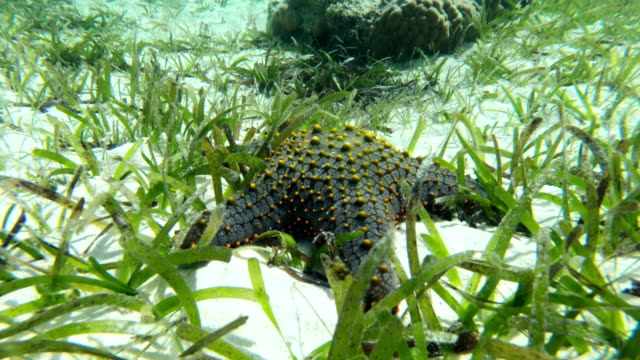 tropical starfish in indian ocean - sea grass plant stock videos & royalty-free footage