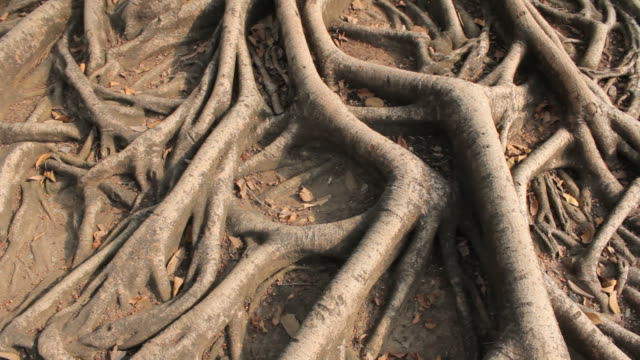 Tropical tree roots