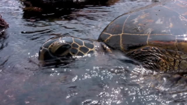 tropical turtle hawaii sea waikiki oahu honolulu hanauma bay hawaiians - turtle bay hawaii stock videos and b-roll footage