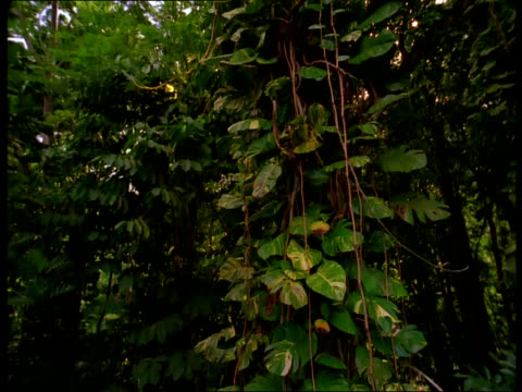 a tropical vine grows on a tall tree in a green jungle. - tropical tree stock videos & royalty-free footage
