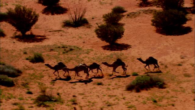 trotting camels stop and rest in australia's simpson desert. - south australia bildbanksvideor och videomaterial från bakom kulisserna