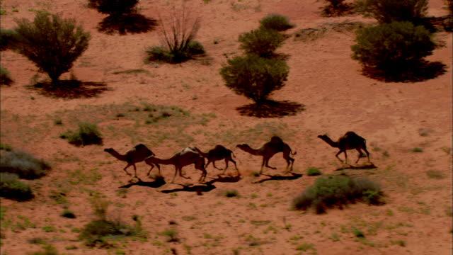 trotting camels stop and rest in australia's simpson desert. - ラクダ点の映像素材/bロール