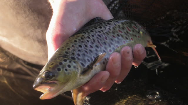 trout catch and release - trout stock videos and b-roll footage