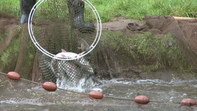ws pan tu trout in fishing net / trassem near saarburg, rhineland-palatinate, germany - 数匹の動物点の映像素材/bロール