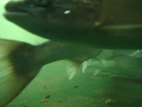 Trout in tank on farm, MCU