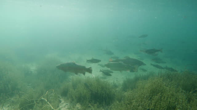 trout underwater - trout stock videos and b-roll footage