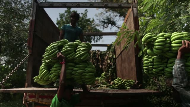 truck passes next to the banana plantation, day laborers carry banana stems to the truck, a banana trader records the weight of bananas during a... - tropical fruit stock videos & royalty-free footage