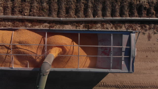 trucking forward/tilting down aerial drone shot of an auger pouring corn kernels into the back of a grain semi-truck for transportation at harvest next to a corn field - trucks in a row stock videos & royalty-free footage