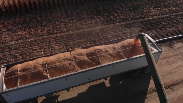 trucking forward/tilting down aerial drone shot of an auger pouring corn kernels into the back of a grain semi-truck for transportation at harvest next to a corn field - cereal plant stock videos & royalty-free footage