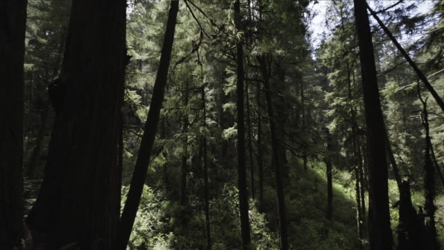 trucking shot, scenic redwood forest - coast redwood stock videos & royalty-free footage