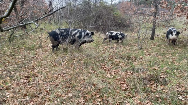 truffle hunting pigs - animal nose stock videos & royalty-free footage