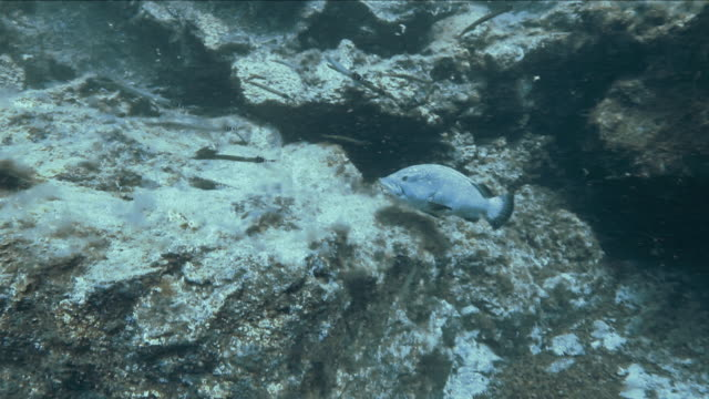 """""""trumpet fish, and silver black finned fish swimming over coral in tenerife"""" - trumpet fish stock videos & royalty-free footage"""