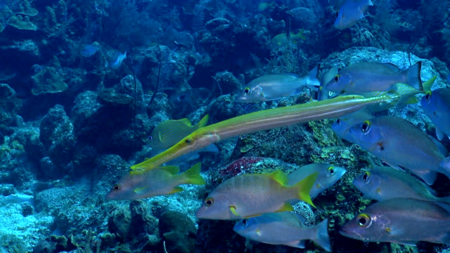 Trumpet fish Aulostomus maculatus with Grunt Shoal