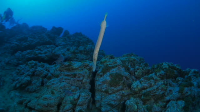 trumpet fish in the reef - trumpet fish stock videos & royalty-free footage