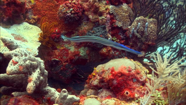 ms, ha, trumpet fish (aulostomus chinensis) moving around coral reef, saint lucia - trumpet fish stock videos & royalty-free footage