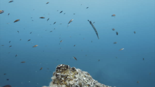 """""""trumpet fish swimming amongst a school of fish, tenerife"""" - trumpet fish stock videos & royalty-free footage"""