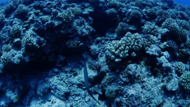 trumpet fish swimming over reef in tahiti / moorea, french polynesia - moorea stock videos and b-roll footage