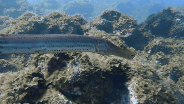 trumpet fish swimming through coral - trumpet fish stock videos & royalty-free footage