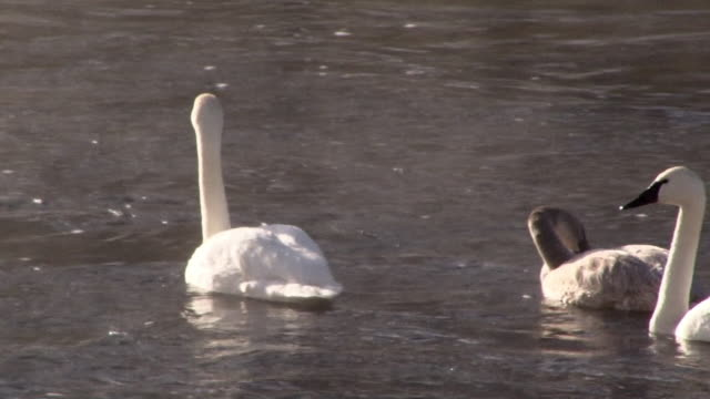 Trumpeter Swan adult and cygnets swimming, Yellowstone National Park, Wyoming in winter