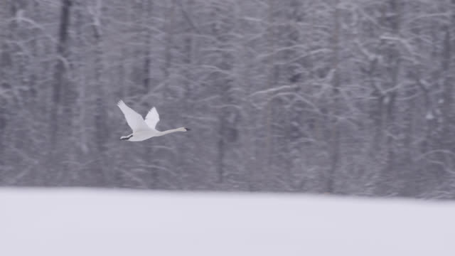 Trumpeter swan (Cygnus buccinator) flies over snowy landscape, Alaska, USA