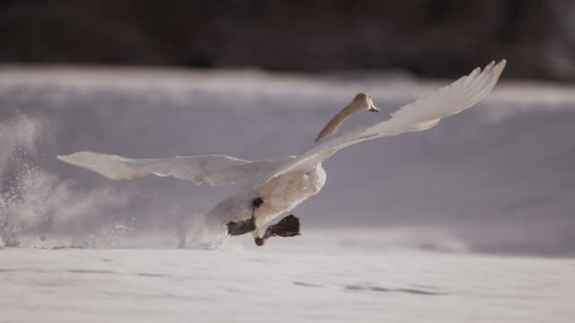 trumpeter swan (cygnus buccinator) runs and takes off from snow, alaska, usa - cigno video stock e b–roll