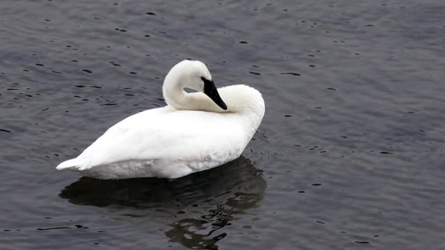 Trumpeter Swan scratches head and preens, Yellowstone National Park, winter, snow, Yellowstone River