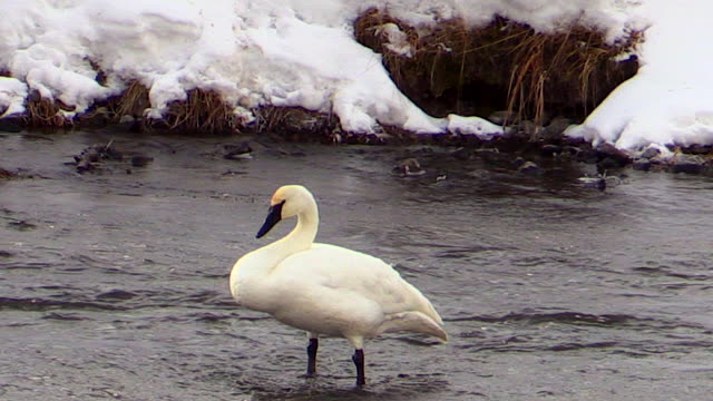 Trumpeter Swan spreads wings and preens, Yellowstone National Park, Wyoming in winter