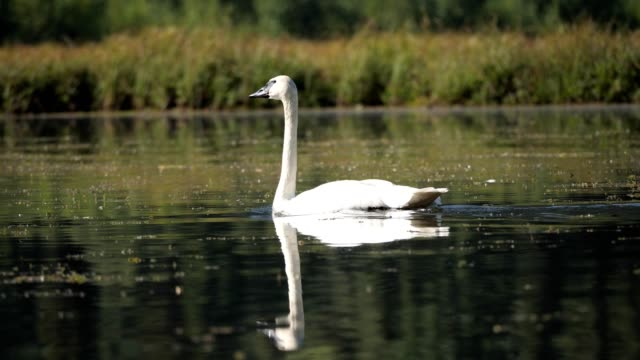 trumpeter swan - swimming stock videos & royalty-free footage