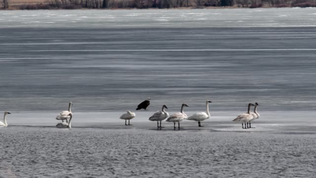 Trumpeter Swans and Bald Eagle