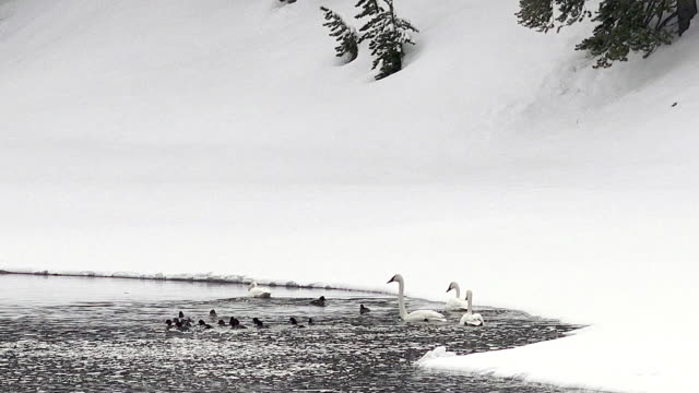 Trumpeter Swans and ducks, Yellowstone National Park, winter, snow, Yellowstone River