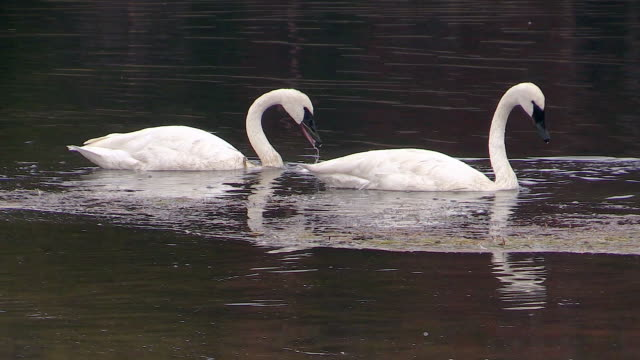 Trumpeter Swans feeding in Yellowstone River, autumn in Yellowstone National Park