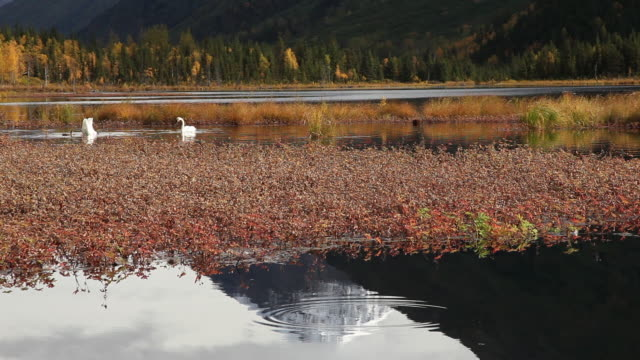 trumpeter swans feeding on tern lake, chugach national forest, alaska. - chugach national forest stock videos & royalty-free footage