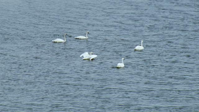Trumpeter Swans In Southwest Alaska